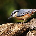 Nuthatch by Grant Glendinning
