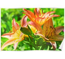 Orange Asiatic Lily Poster