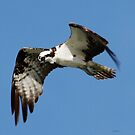 Osprey by Dennis Cheeseman
