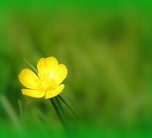 Buttercup in the Wild by Paul Bettison