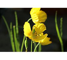 Yellow poppy's with spider Photographic Print