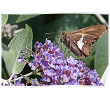 Silver-spotted Skipper Poster