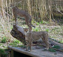 Cheetahs/Leopards by Browneyedgirl78