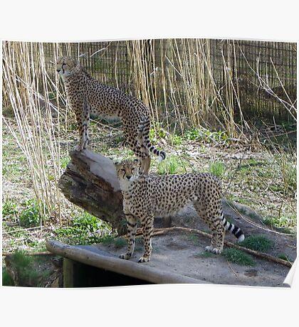 Cheetahs/Leopards Poster