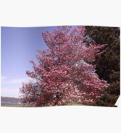 Pink Petals Along Puget Sound - Commencement Bay Poster