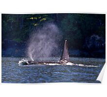Orca Wave Poster