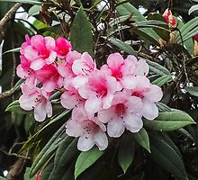 Rhododendron by bratpyle