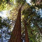 Reaching for the Sky - Coastal Redwood, Muir Woods National Monument. California.  by Mike Koenig