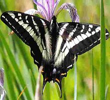 Pale Tiger Swallowtail Butterfly - iPhone Case by BettyEDuncan