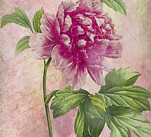 Vintage Pink Peony & French Ephemera Print - French Script and Peony Illustration by traciv