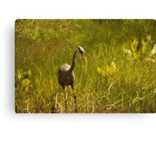 Urban 'Great Blue Heron' say's Hello! Canvas Print