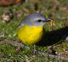 Eastern Yellow Robin Lunch  Anyone  by Kym Bradley