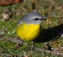 Eastern Yellow Robin Lunch  Anyone  by Kym Bradley
