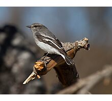Watchful Female Hooded Robin Photographic Print