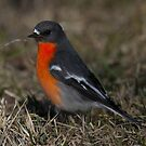 Up Close and Personal   ~  Male Flame Robin ~  Canberra Australia  by Kym Bradley