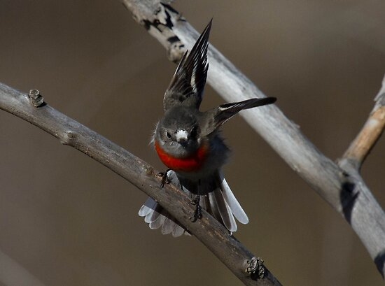 Female Scarlet Robin  approaching  by Kym Bradley