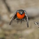 Coming Your  Way  Male Flame Robin Canberra Australia  by Kym Bradley