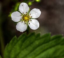 Wild Strawberry Flower I by EelhsaM