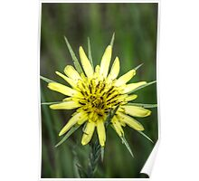 Yellow Salsify I Poster