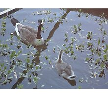 Gosling & Goose Photographic Print