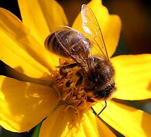 Bee on yellow flower (2) by LeJour