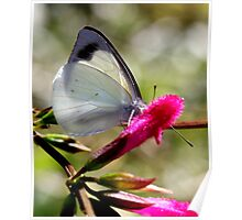 Pearl White Butterfly (3) Poster