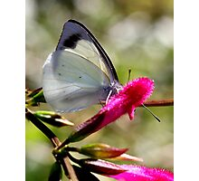Pearl White Butterfly (3) Photographic Print