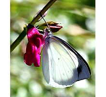 Pearl White Butterfly (4) Photographic Print