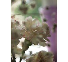 Soft Carnations Photographic Print