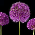 Allium Trio by John Edwards