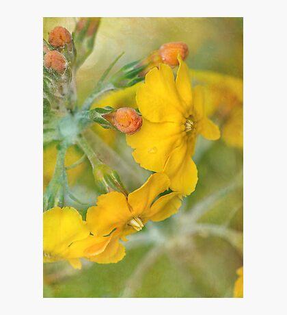 precious primrose Photographic Print