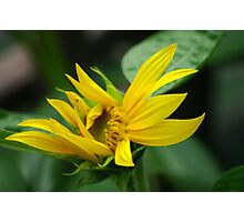 Sunflower in Motion Photographic Print