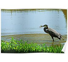 Great Blue Heron Catches a Fish Poster