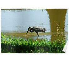 Great Blue Heron Fish in Mouth Poster