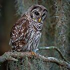 Florida Barred Owl In Spanish Moss by Joe Jennelle