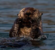 STOCK ~ Sea Otter What's Up by akaurora