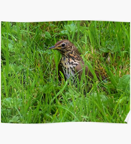 Thrush In The Grass Poster