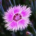 Dianthus in Disguise by vette