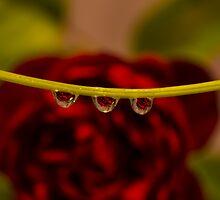 Three little roses  by Nicole  Markmann Nelson
