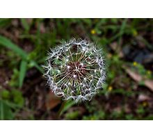 Dandy Poof Photographic Print