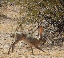 Black-tailed Jackrabbit by Kimberly Chadwick