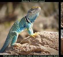 Eastern Collard Lizard ~ Collage by Kimberly Chadwick