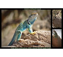 Eastern Collard Lizard ~ Collage Photographic Print