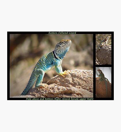 Eastern Collard Lizard ~ Collage Photographic Print