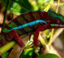 The Male Panther Chameleon - Non fighting colour form  - Madagascar by john  Lenagan