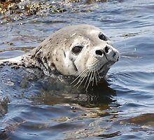 Seal Smile by Graeme  Hyde