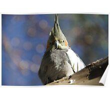 Cockatiel - Australian Parrot Poster