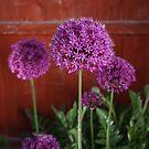 Allium by INFIDEL