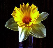Daffodil in the dark by Avril Harris