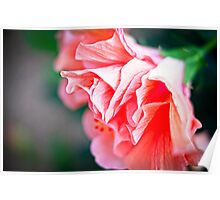 Double Peach Hibiscus II Poster